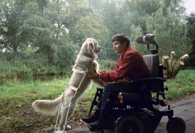 Beau heeft haar werk naast de elektrische rolstoel weer volbracht en wordt ontdaan van haar tuig.
